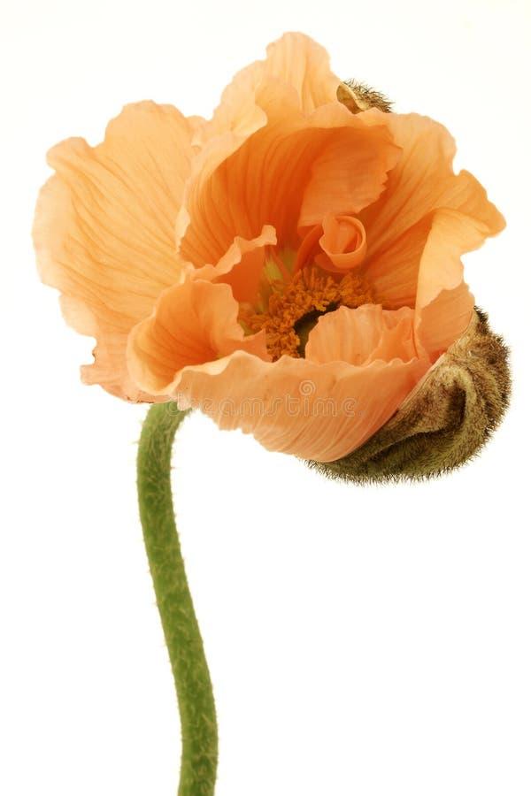 Budding Poppy stock image
