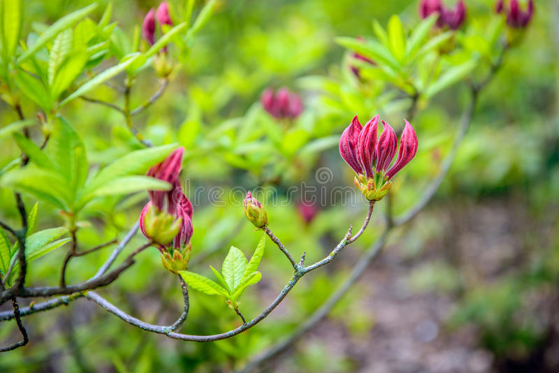 Budding purple flowers and fresh green leaves of a Chinese azalea from close. Closeup of budding purple flowers and fresh green leaves of a Chinese azalea stock images