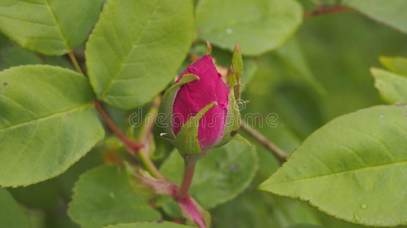 Budding rose in the garden royalty free stock photography