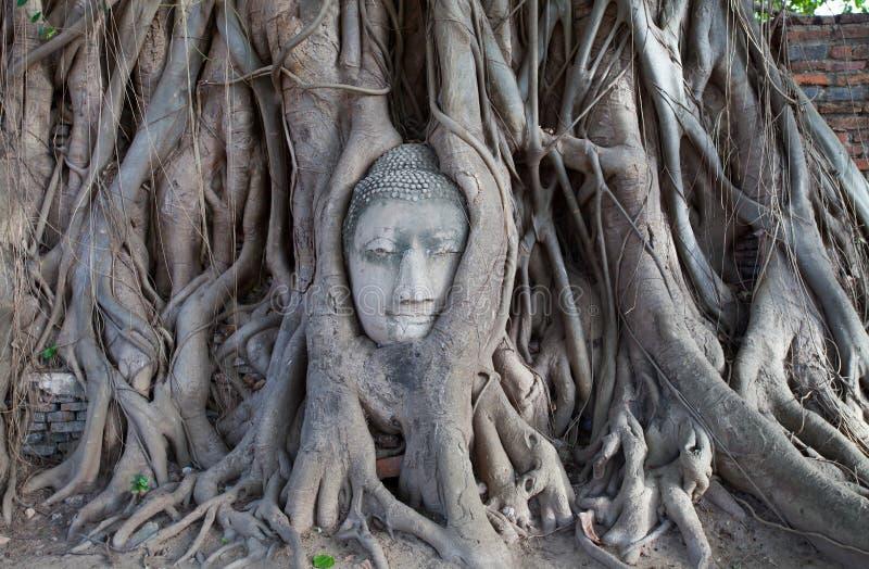 Buddistisk staty för gammalt stenhuvud som fångas i träd royaltyfria bilder