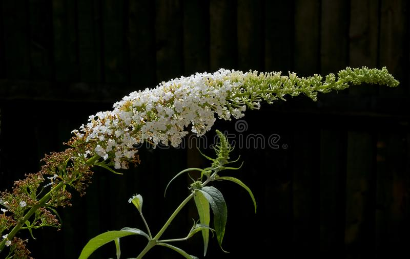 Buddleia blanc merveilleux photos libres de droits