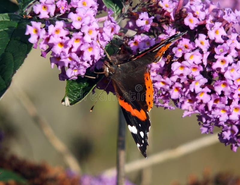 Buddleia com a borboleta de concha de tartaruga no outono adiantado fotografia de stock