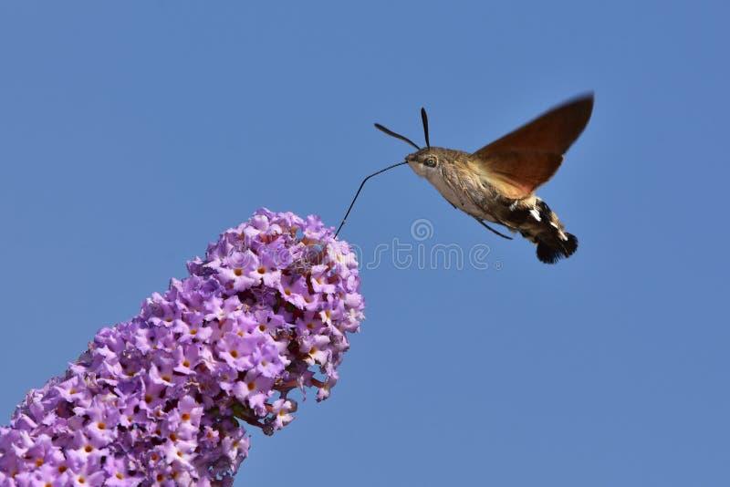 Buddleja davidii -与蜂鸟鹰飞蛾的蝴蝶灌木丛在反对蓝天的背景中 库存照片