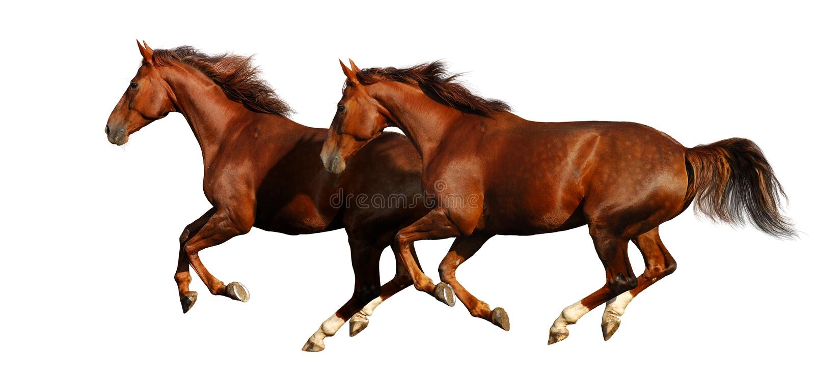 Download Budenny horses gallop stock photo. Image of mare, golden - 4072434
