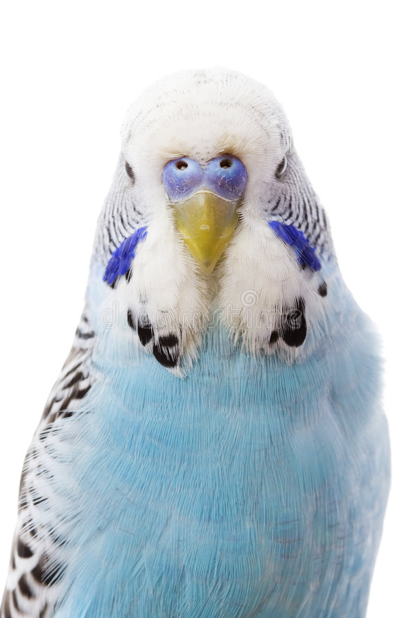 Budgerigar immagine stock