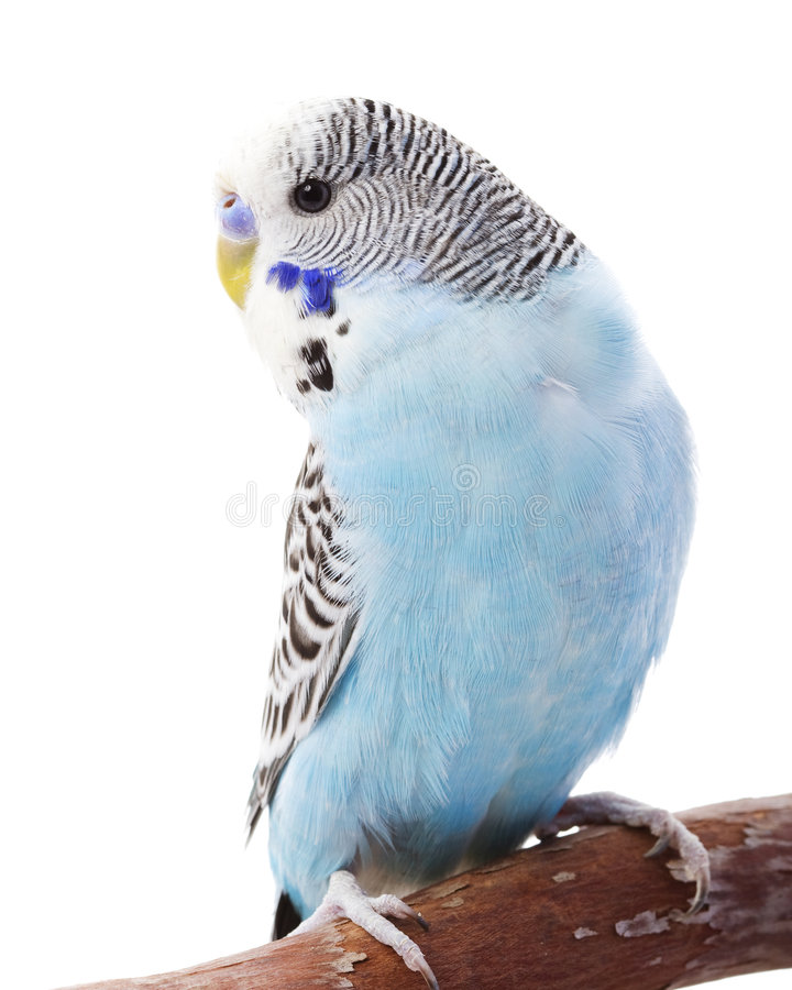 Download Budgerigar stock photo. Image of expression, standing - 7202064