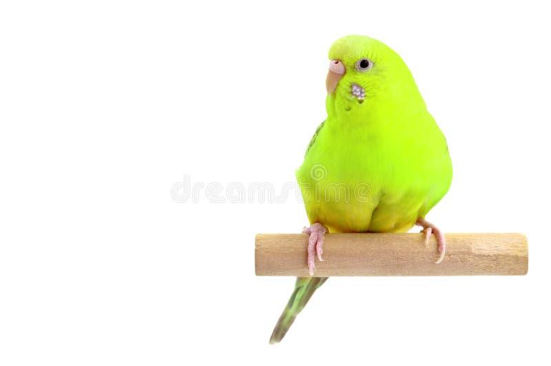 Budgerigar amarelo imagem de stock