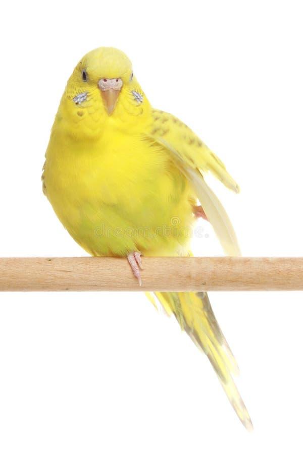 Budgerigar amarelo em uma vara imagens de stock royalty free