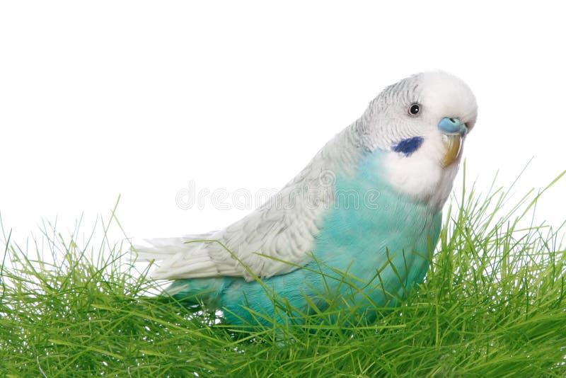 Budgerigar azul fotos de stock royalty free