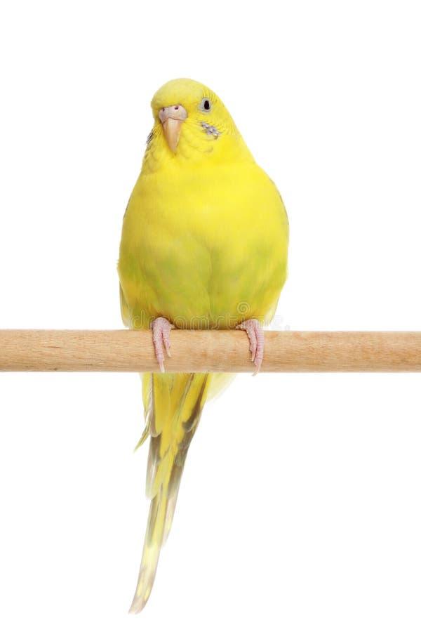 Budgerigar giallo su un bastone fotografie stock