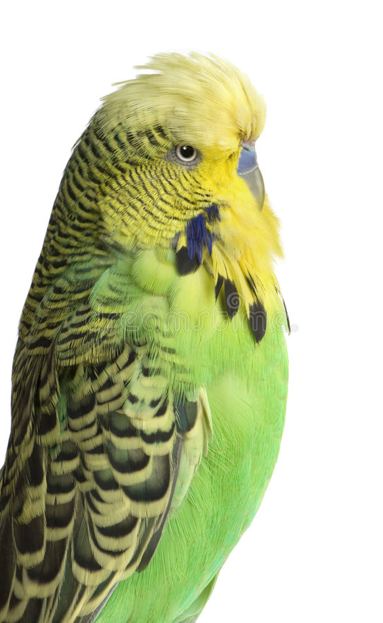Budgerigar - Melopsittacus undulatus royalty free stock photography