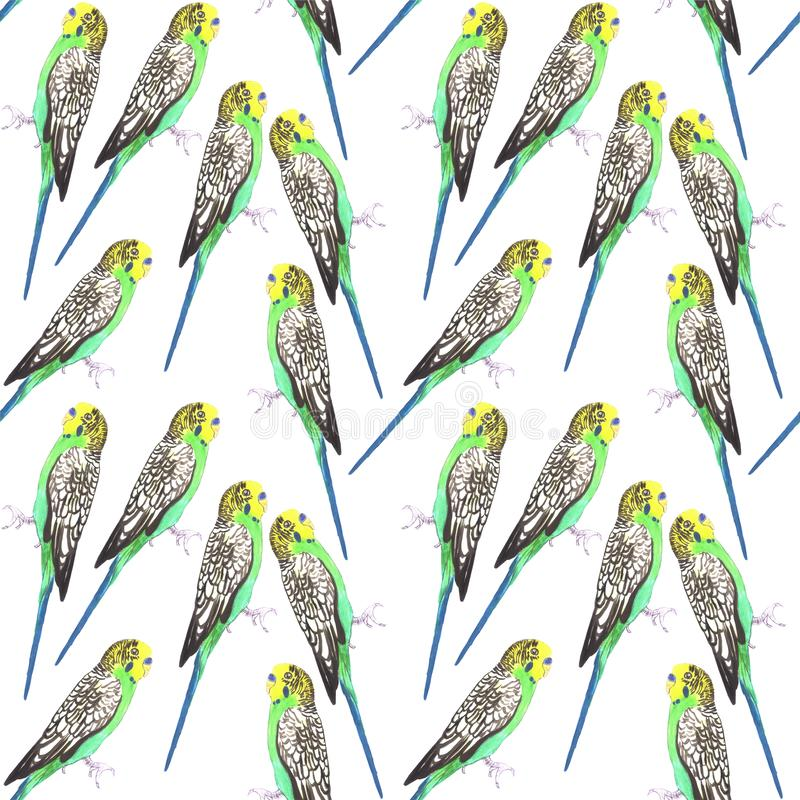 Budgerigar or Melopsittacus undulatus bird seamless watercolor birds painting background.  stock illustration