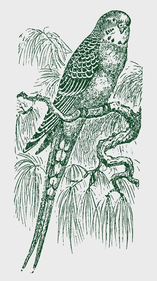 Budgerigar melopsittacus undulatus sitting on a branch. Illustration after a historic engraving from the 19th century. Editable in layers royalty free illustration