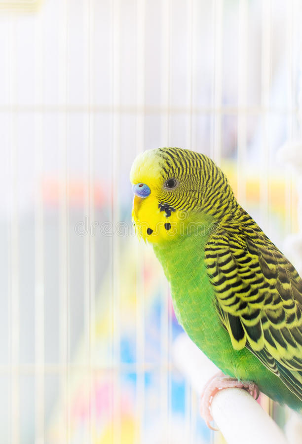 Download Budgerigar stock image. Image of pets, beautiful, nature - 41456791