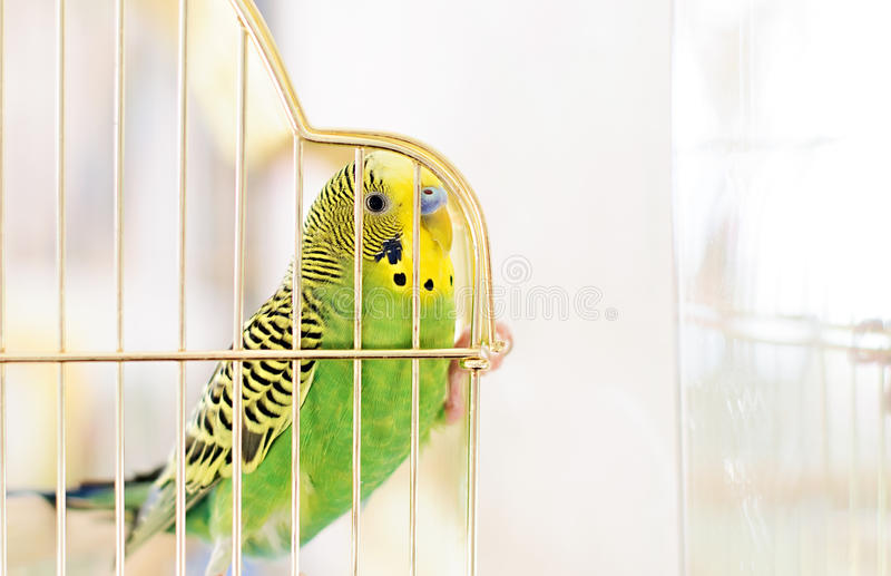 Download Budgerigar Stock Photo - Image: 41456810