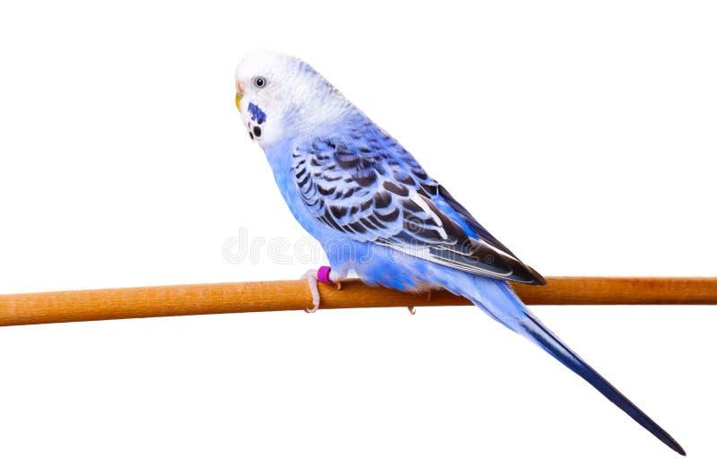 Download Budgerigar imagem de stock. Imagem de fundo, bonito, azul - 29826041