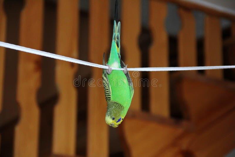 budgerigar Papegaai het hangen op een kabel stock afbeelding