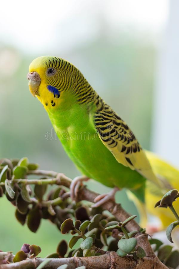 Budgerigar sits on a branch. The parrot is brightly green-colored. Bird parrot is a pet. Beautiful, pet wavy parrot stock photos