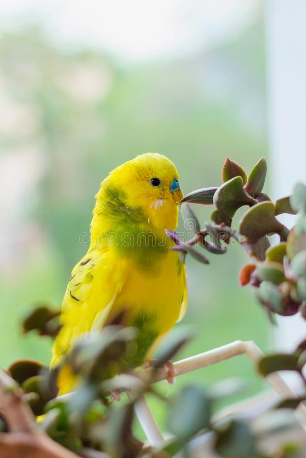Budgerigar sits on a branch. The parrot is brightly green-colored. Bird parrot is a pet. Beautiful, pet wavy parrot stock images