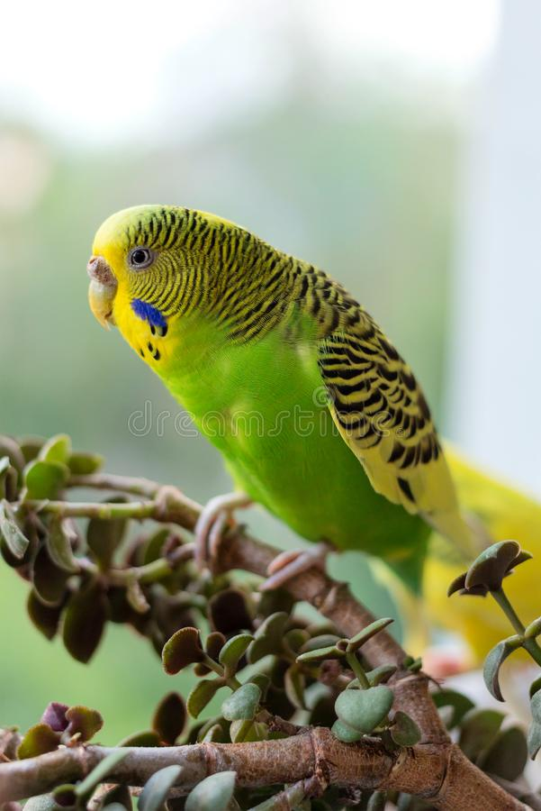 Budgerigar sits on a branch. The parrot is brightly green-colored. Bird parrot is a pet. Beautiful, pet wavy parrot stock photo