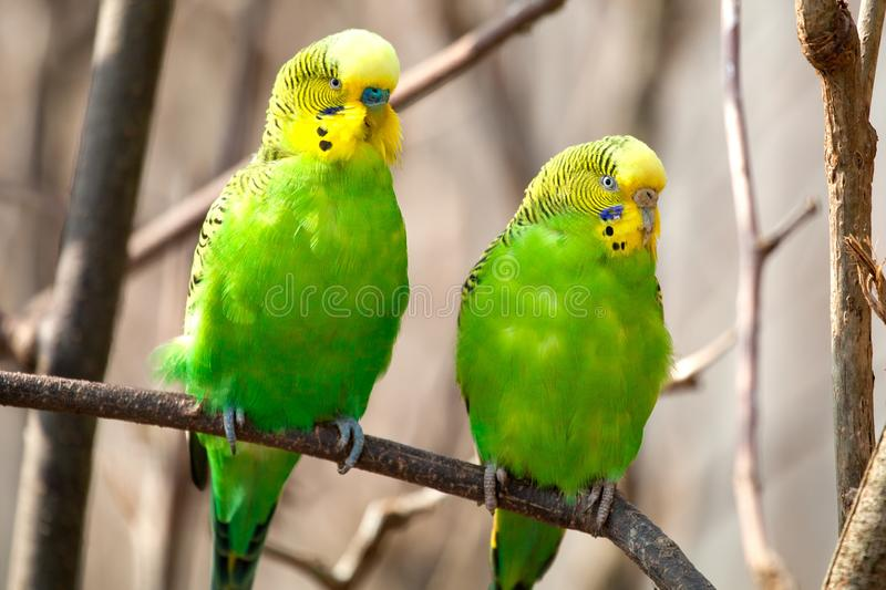 Budgerigar sits on a branch. The parrot is brightly green-colored. Bird parrot is a pet. Beautiful pet wavy parrot stock image