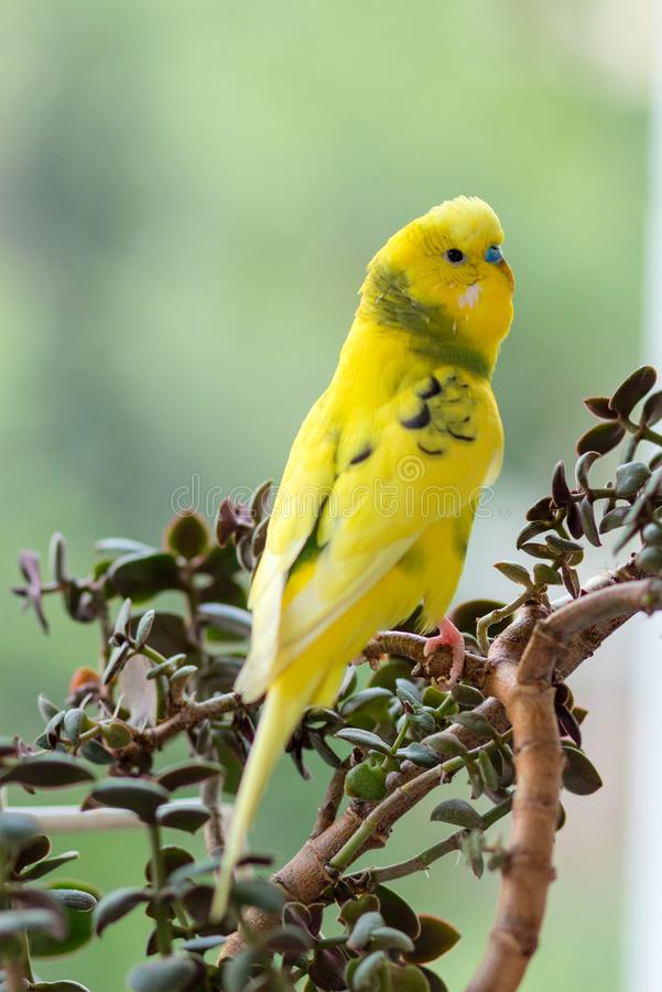 Budgerigar sits on a branch. The parrot is brightly green-colored. Bird parrot is a pet. Beautiful, pet wavy parrot. stock photography