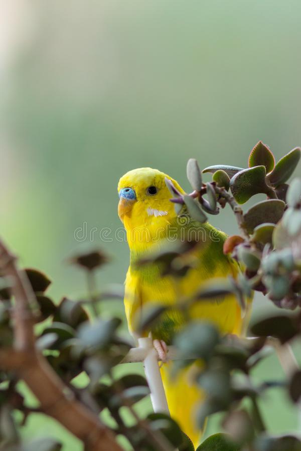Budgerigar sits on a branch. The parrot is brightly green-colored. Bird parrot is a pet. Beautiful, pet wavy parrot stock photography