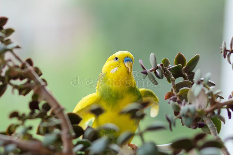 Budgerigar sits on a branch. The parrot is brightly lemon-colored. Bird parrot is a pet. Beautiful, pet wavy parrot. royalty free stock image
