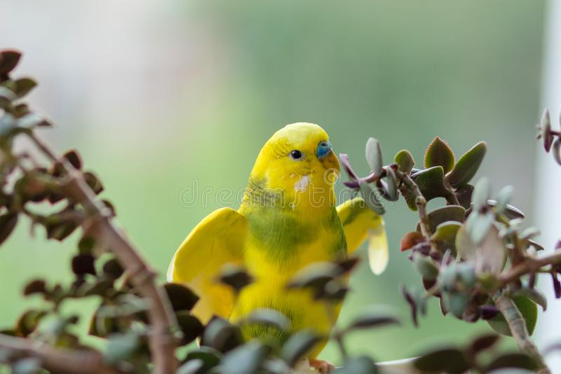 Budgerigar sits on a branch. The parrot is brightly lemon-colored. Bird parrot is a pet. Beautiful, pet wavy parrot. royalty free stock photography