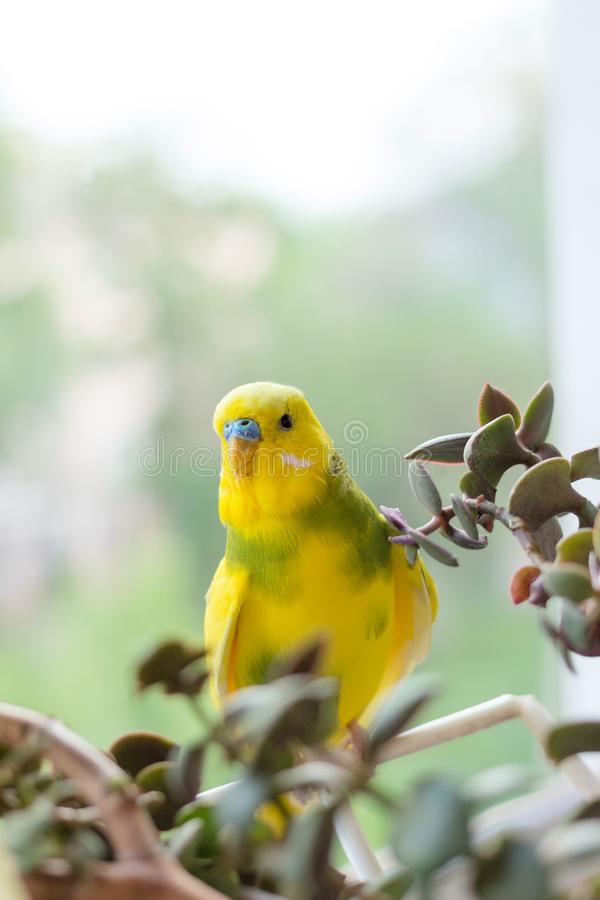 Budgerigar sits on a branch. The parrot is brightly lemon-colored. Bird parrot is a pet. Beautiful, pet wavy parrot stock photo