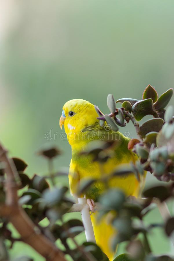 Budgerigar sits on a branch. The parrot is brightly lemon-colored. Bird parrot is a pet. Beautiful, pet wavy parrot stock photos