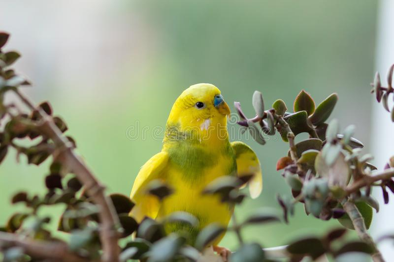 Budgerigar sits on a branch. The parrot is brightly lemon-colored. Bird parrot is a pet. Beautiful, pet wavy parrot royalty free stock photos