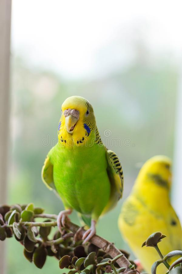 Budgerigar sits on a branch. The parrot is brightly lemon-colored. Bird parrot is a pet. Beautiful, pet wavy parrot stock image