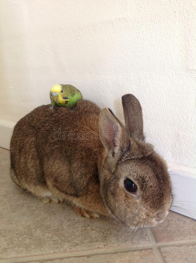Budgerigar sitting on a rabbit stock images
