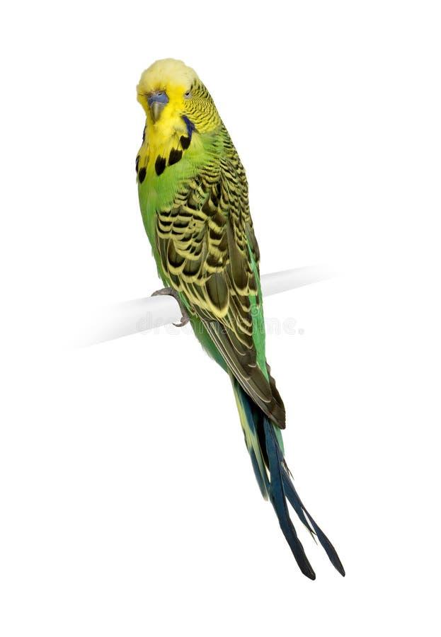 Budgerigar - undulatus do Melopsittacus imagem de stock royalty free