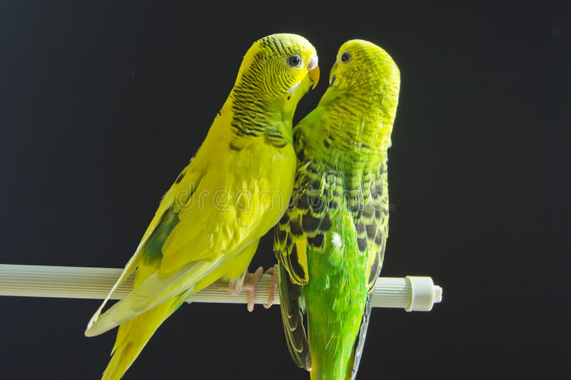budgerigars ζεύγος στοκ εικόνες