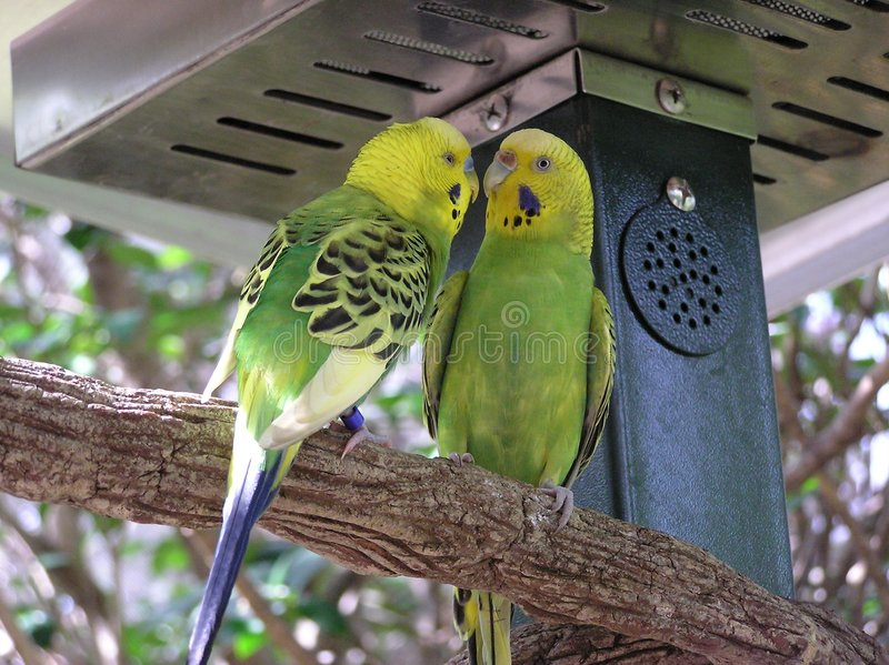 Budgerigars photographie stock
