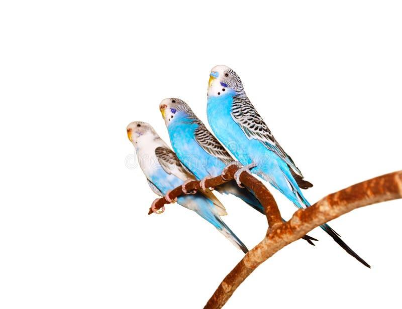 budgerigars стоковое изображение