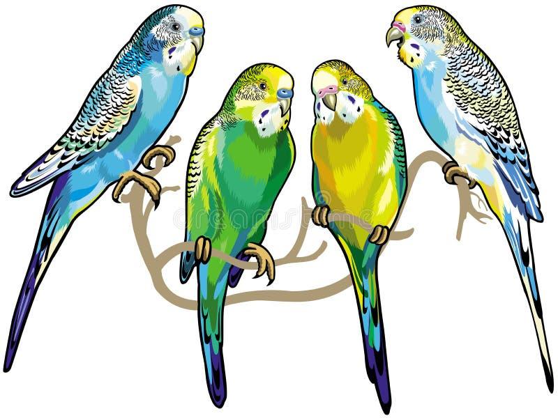 Budgerigars. Australian parakeets isolated on white background vector illustration