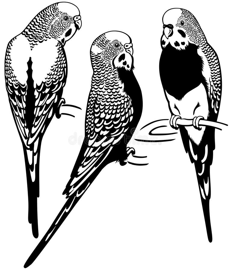 Budgerigars black white. Budgerigars australian parakeets, black and white image royalty free illustration