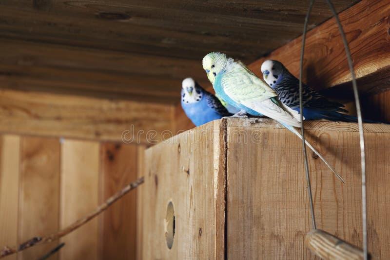 Budgerigars do animal de estimação no aviary imagem de stock royalty free