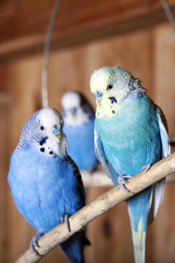 Budgerigars do animal de estimação no aviary imagens de stock