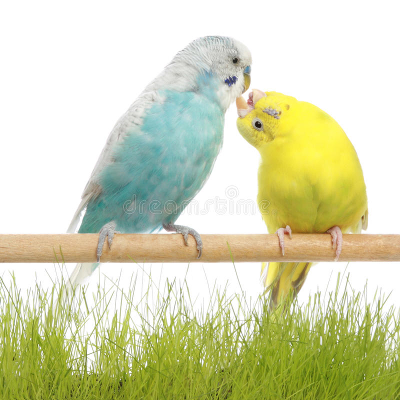 Budgerigars kiss royalty free stock image