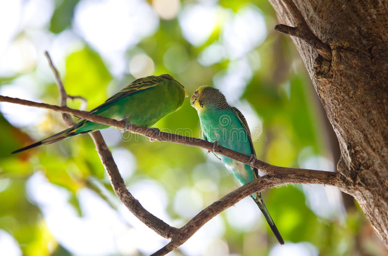 Budgerigars, parakeet de escudo na filial fotografia de stock royalty free