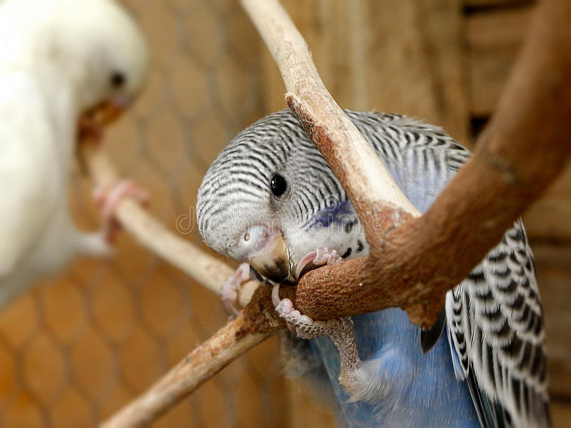 Budgie голубого младенца кобальта стоковое изображение rf