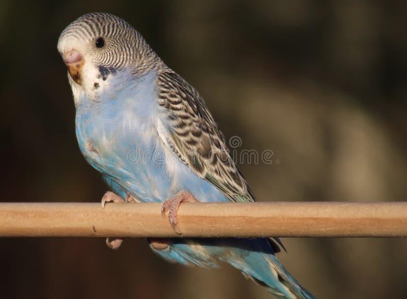 budgie птицы стоковое фото