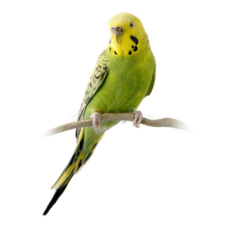 Budgie amarelo e verde fotos de stock royalty free