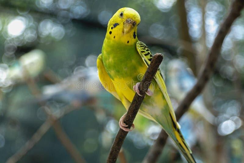 Budgie amarelo e verde em um ramo fora do periquito australiano foto de stock royalty free