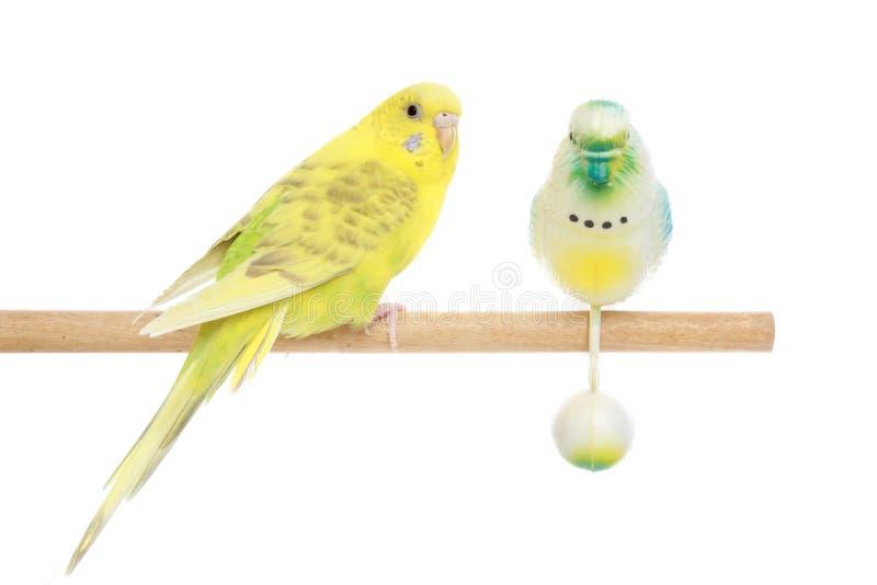 Budgie amarelo em uma vara fotos de stock