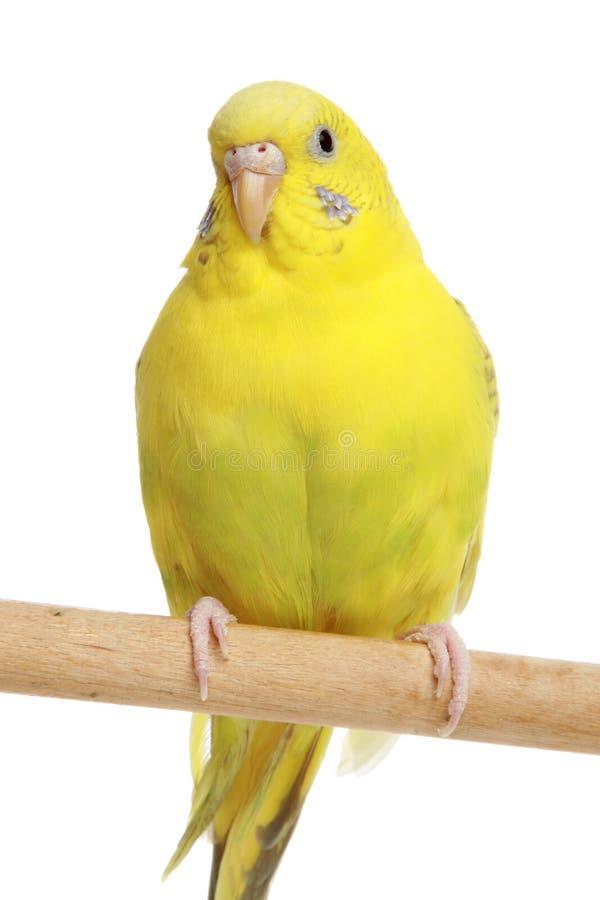 Budgie amarelo em uma vara foto de stock royalty free